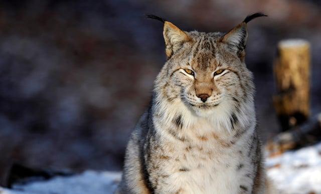 A Eurasian Lynx (also known as European Lynx) was reportedly seen in Milton Keynes by walkers. (Jean-Christophe Verhaegen/AFP via Getty)