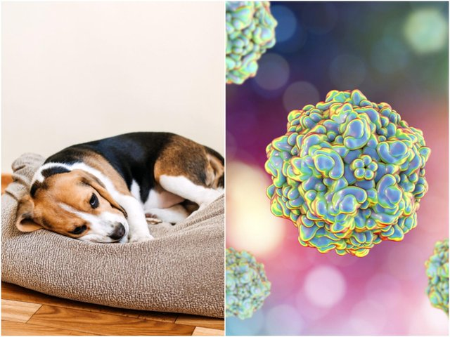 Canine parvovirus is a serious and highly contagious disease that affects dogs (Photo: Shutterstock)