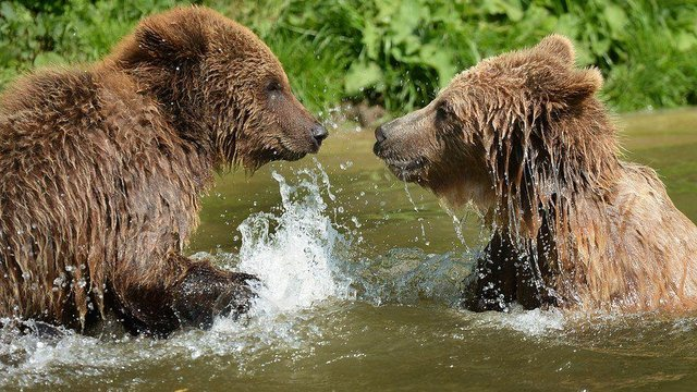 Brown Bears at Whipsnade Zoo (Whipsnade Zoo)