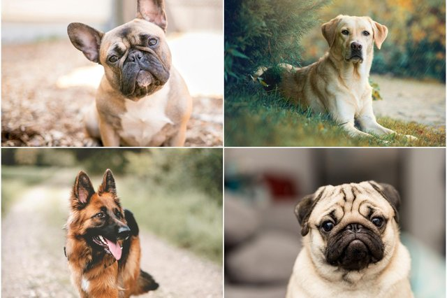 Dogs come in all shapes and sizes, with a wide variety of breeds to choose from if you're planning on getting a pooch (Photo: Shutterstock)