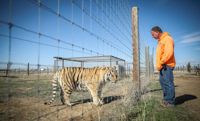 Several tigers from Joe Exotic's famous animal park have been rescued by an animal sanctuary in Colarado.