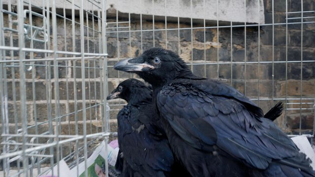 Two new baby ravens born during lockdown at the Tower of London, two of four chicks born in March this year to the Tower's resident breeding pair, Huginn and Muninn (Photo: Historic Royal Palaces/PA Media)