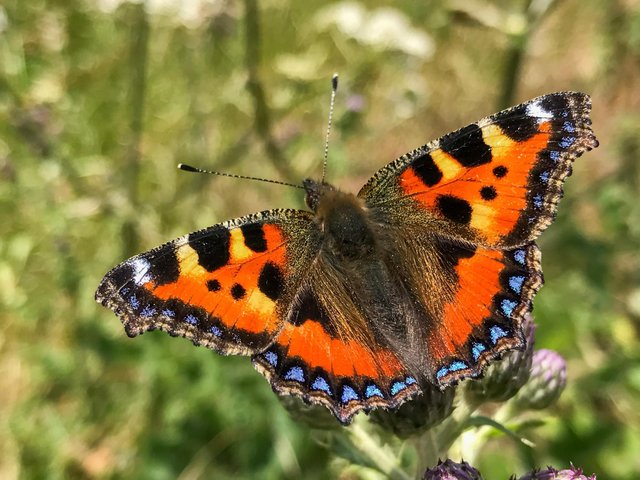 Since 1976, numbers of butterflies in the UK have declined by around 50%
