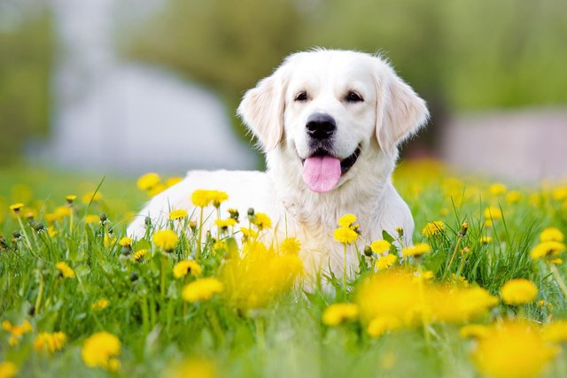 Dogs and cats can become irritated by high pollen counts as well as humans (Shutterstock)