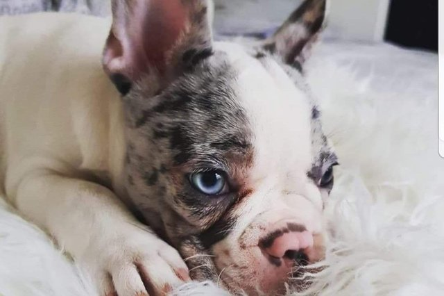 Winter the French bulldog puppy has been reported as stolen and hasn't been seen since February.