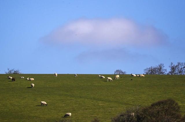Sheep graze on a hill in Hambledon, Hampshire