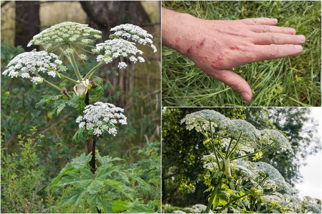 Do you know how to identify Giant Hogweed? (Photo: Shutterstock)