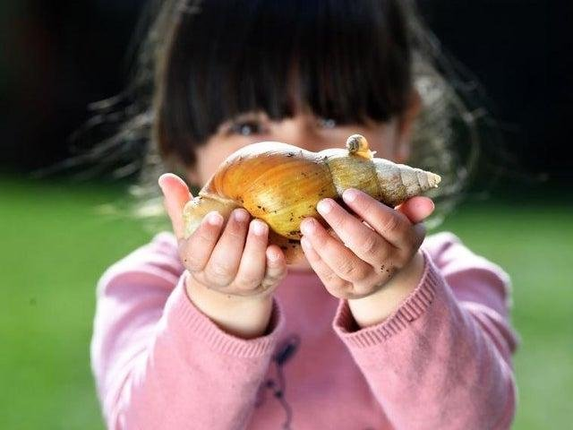 Ella Butlin, three, with an albino giant African land snail and one of its babies