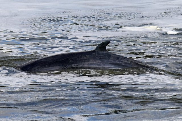 The Minke whale, between three to four metres long, was freed on Sunday after it became stuck on Richmond lock's boat rollers, but will now be put to sleep (Photo: Yui Mok/PA Wire/PA Images)