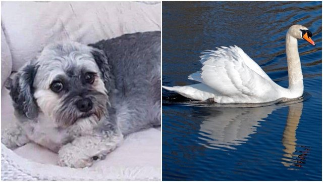 Bruce was attacked by a swan in front of his devastated owner and his children (Credit: Hairystyles/Shutterstock)